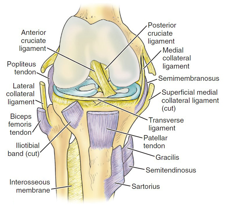 anatomy of the knee joint: cruciate ligament-Anterior Cruciate Ligament ACL