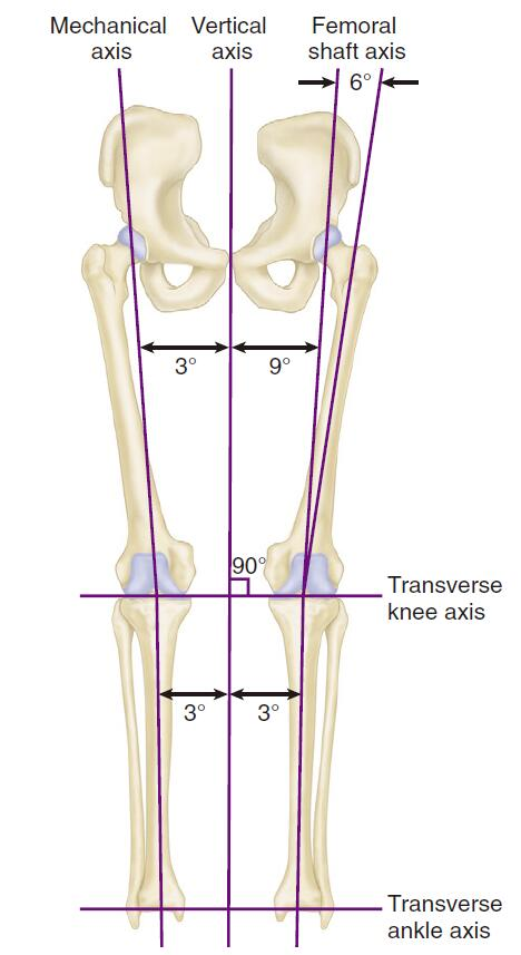 Biomechanics of the knee joint